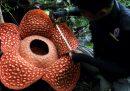 I fiori più grandi del mondo puzzano