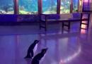 Un acquario a Chicago ha chiuso al pubblico e ha aperto ai pinguini