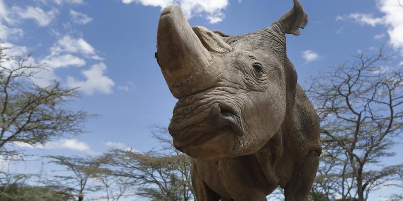 Sudan era un rinoceronte come non ce ne sono più
