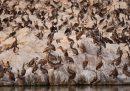 Più di 700 pellicani sono stati trovati morti in un'area protetta in Senegal: erano positivi all'influenza aviaria