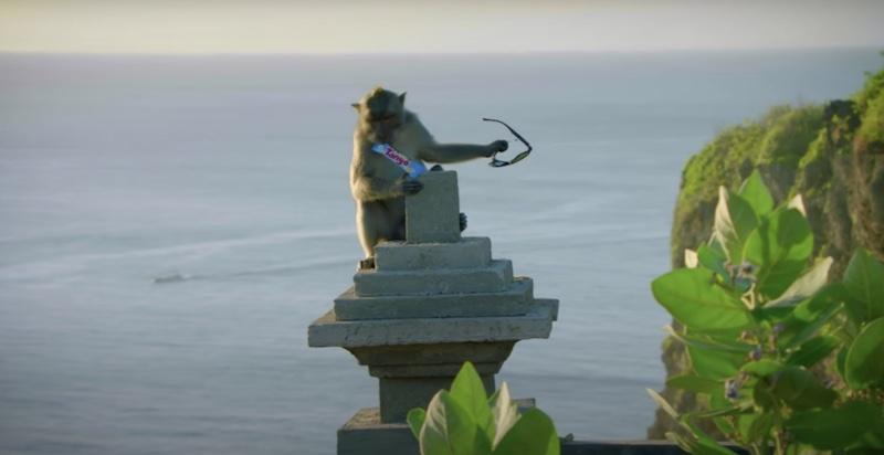 Queste scimmie sanno cosa conviene rubare