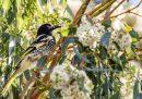 L'uccello che non sa più cantare le melodie della sua specie