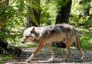 Poco fuori Bologna, i cannoni per tenere lontani i lupi hanno tenuto sveglia la gente