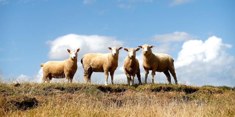 pecore afantasia